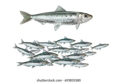 realistic illustration of european pilchard (Sardina pilchardus) on white background. Illustration of a shoal of sardines