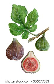 realistic illustration of fig (ficus carica) with leave and fruits