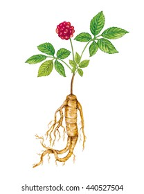 realistic illustration of ginseng (panax ginseng) plant with root, leaves and fruit