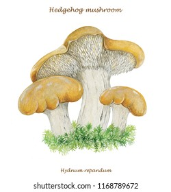 realistic illustration of hedgehog mushroom (Hydnum repandum)