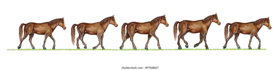 realistic illustration of horse (equus) walk cycle