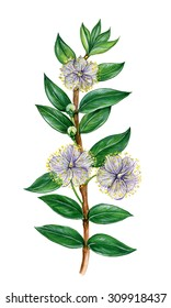 realistic illustration of myrtle (myrtus communis) with a branch with flowers and leaves