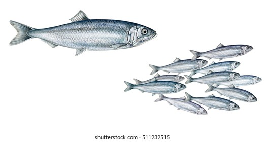 realistic illustration off herring (Clupea harengus)fish and a shoal of herrings on white, watercolor hand drawn illustration
