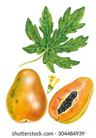 a realistic illustration of papaya's plant (Carica papaya) with fruit, leave, flower.