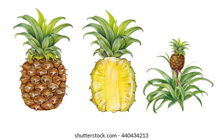 realistic illustration of pineapple ( Ananas comosus) with fruits and plant
