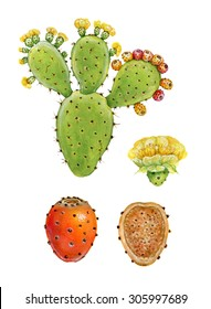realistic illustration of prickly pear plant (opuntia ficus indica) with fruits, flowers and leaves