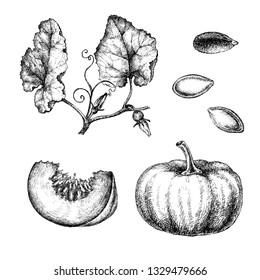Realistic illustration of pumpkin . Botanical drawing. Sketsh hand drawn. Design elements for postcards, ads, promotional invitations, medical markets and vegetarian cafe.