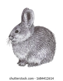 Realistic illustration of a Pygmy Rabbit on white background in graphic style. Cute and fluffy but endangered species