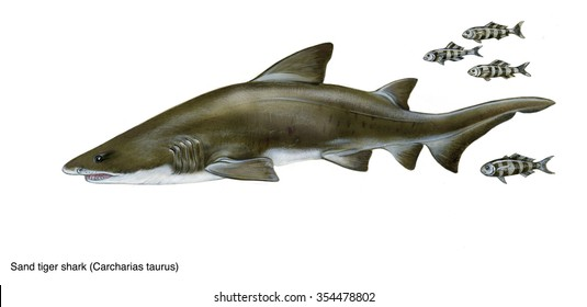 realistic illustration of sand tiger shark (Carcharias taurus) and pilot fishes (Naucrates ductor)