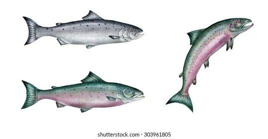 a realistic illustration showing atlantic salmon (Salmo salar): adult living in the sea (on the left  above) and adult male in love (on the left below and on the right)