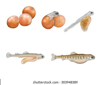 a realistic illustration showing life cycle of atlantic salmon (Salmo salar)
