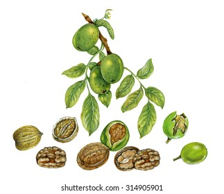 realistic illustration of walnut tree (Juglans regia) with a brunch with fruits, male and female flowers , leaves, walnut shell inside its green husk nuts and nuts