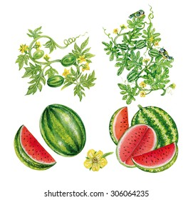 realistic illustration of watermelon ( anguria anguria) with plant,flowers,fruits and two tits