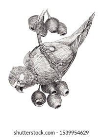 Realistic ink pen drawing of a parrot, looking for food, on a gum tree branch with gumnuts. Monochrome black & white Australian nature illustration on a white background.