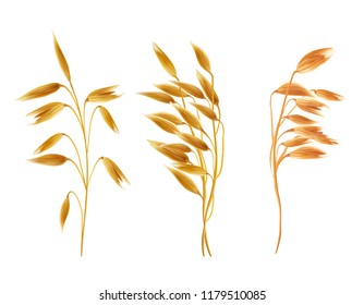 Realistic oat ears with grains set. Detailed cereal plants, agriculture industry organic crop products for oat groats flakes, oatmeal packaging design. isolated illustration, white background