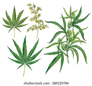 realistic scientific illustration of hemp plant (cannabis sativa) with a branch with leaves and flowers and two leaves