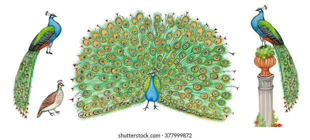 Realistic Scientific Illustrations Of Peacock Pavo Cristatus With Male And Female