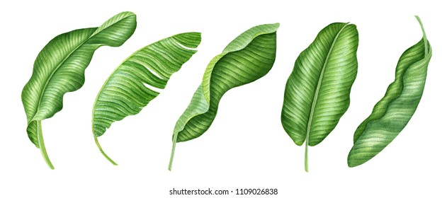 Realistic tropical botanical foliage plants. Set of tropical leaves: green palm banana. Hand painted watercolor illustration isolated on white. Banana leaves
