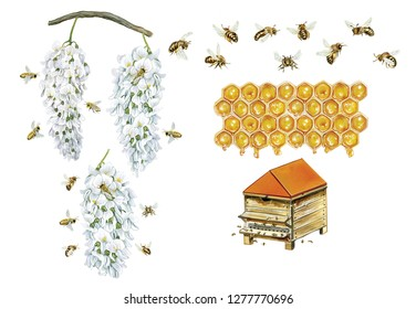 realistic watercolor hand drawn illustration of honey bee (apis mellifera) with bees collect pollen from flowers of robinia  (Robinia pseudoacacia), bees, hive and cells of honey isolated on white