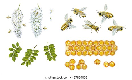 realistic watercolor hand made illustration of honey bee (apis mellifera) with bees collect pollen from flowers of robinia (Robinia pseudoacacia),flowers of acacia, bees and cells of honey isolated on