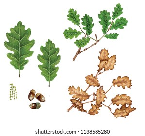 realistic watercolor illustration of sessile oak (quercus petraea) with leaves, brunch of autumn leaves, flowers and acorns on white