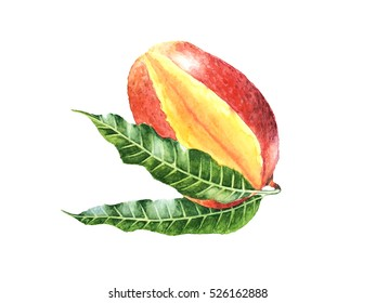 Realistic watercolor of red tropical fruit Mango