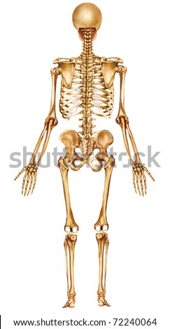 Rear view human skeleton stock illustration 72240064 shutterstock ccuart Choice Image