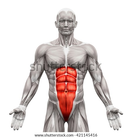 Rectus Abdominis - Anatomy Abs Muscles isolated on white - 3D illustration
