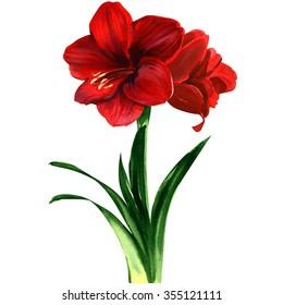 red Amaryllis flower, hippeastrum