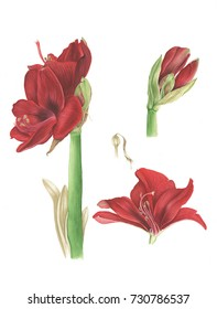 Red amaryllis, watercolor painting on white background. Botanical illustration.