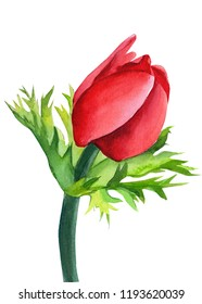 red anemone, beautiful flower on an isolated white background, watercolor illustration, botanical painting