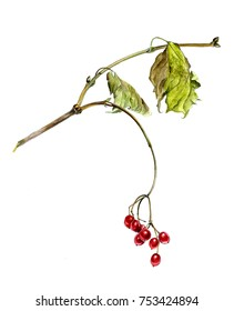 Red berries of viburnum on a branch  with leaves, watercolor sketch, isolated