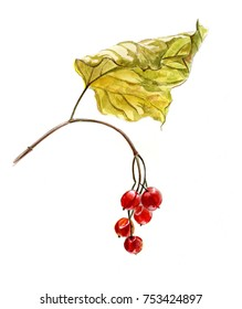 Red berries of viburnum on a branch  with yellow leaves, watercolor sketch, isolated