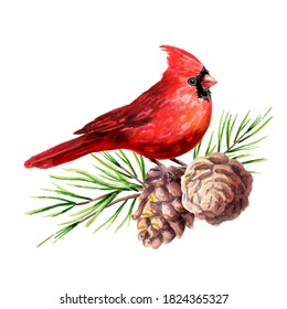 Red bird Cardinal on the cedar branch with cones, Symbol of Christmas  Watercolor hand drawn illustration isolated on white background