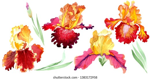 Red Bold encounter iris floral botanical flowers. Wild spring leaf wildflower isolated. Watercolor background set. Watercolour drawing fashion aquarelle. Isolated iris illustration element.