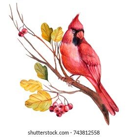 Red cardinal bird  on a branch, watercolor illustration on isolated background. Watercolor Hand Drawn