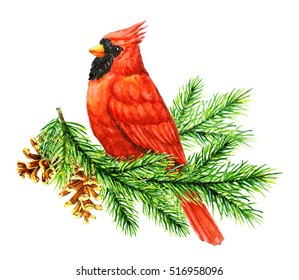 Red Cardinal Bird on Pine Brunch. Winter Christmas Hand Painted Greeting Card Illustration. On white background. Watercolor illustration