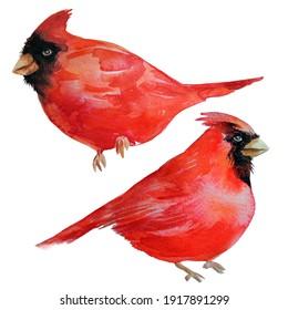 RED CARDINAL BIRDS. Watercolour illustration.