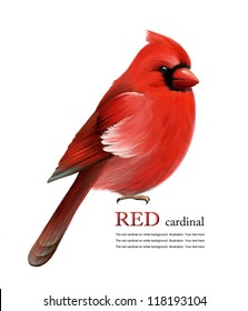 Red cardinal on white background. Illustration. Christmas symbol