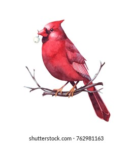 Red cardinal sitting on a twig with berry in beak. Isolated watercolor christmas illustration.