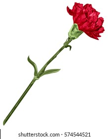 Red carnation flower. Isolated on white illustration