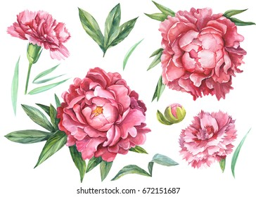 Red carnations and peonies set of elements on white isolated background watercolor hand drawing