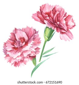 Red carnations. Watercolor hand drawing