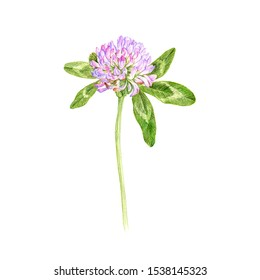 red clover, flower, drawing by colored pencils, Trifolium pratense, hand drawn illustration