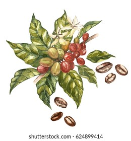 Red coffee arabica beans on branch with flowers isolated, watercolor illustration.