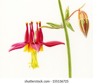 Red Columbine Wildflower.  Watercolor illustration, painting, of a wild crimson columbine flower with a bud.