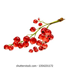 Red currants on a white background, hand drawn watercolor illustration.