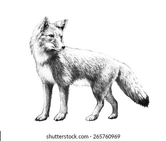 A red fox with a bushy tail pencil illustration that is hand drawn and isolated on a white background. This cute wild animal is standing with head turned and ears pointing up.