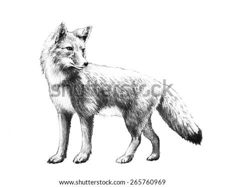 Red Fox Bushy Tail Pencil Illustration Stock Illustration Royalty