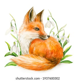 A red fox surrounded by primroses. Watercolour illustration. Isolated image.